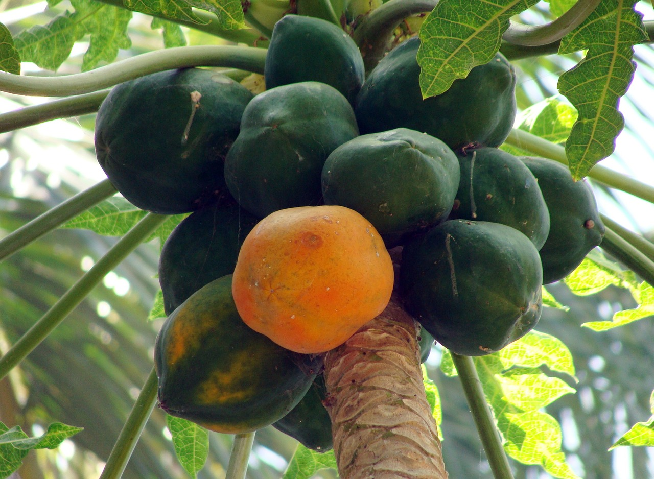 Papaya for Constipation