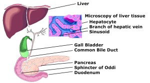 Your Gallbladder