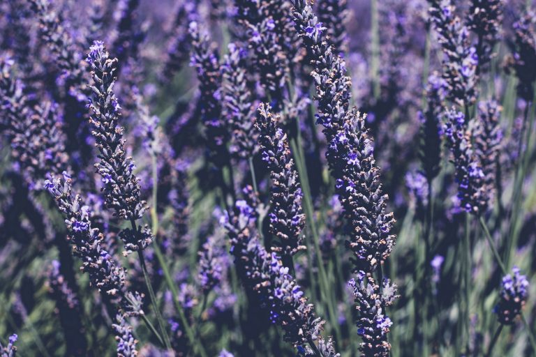The Wonderful Health Benefits of Lavender Oil