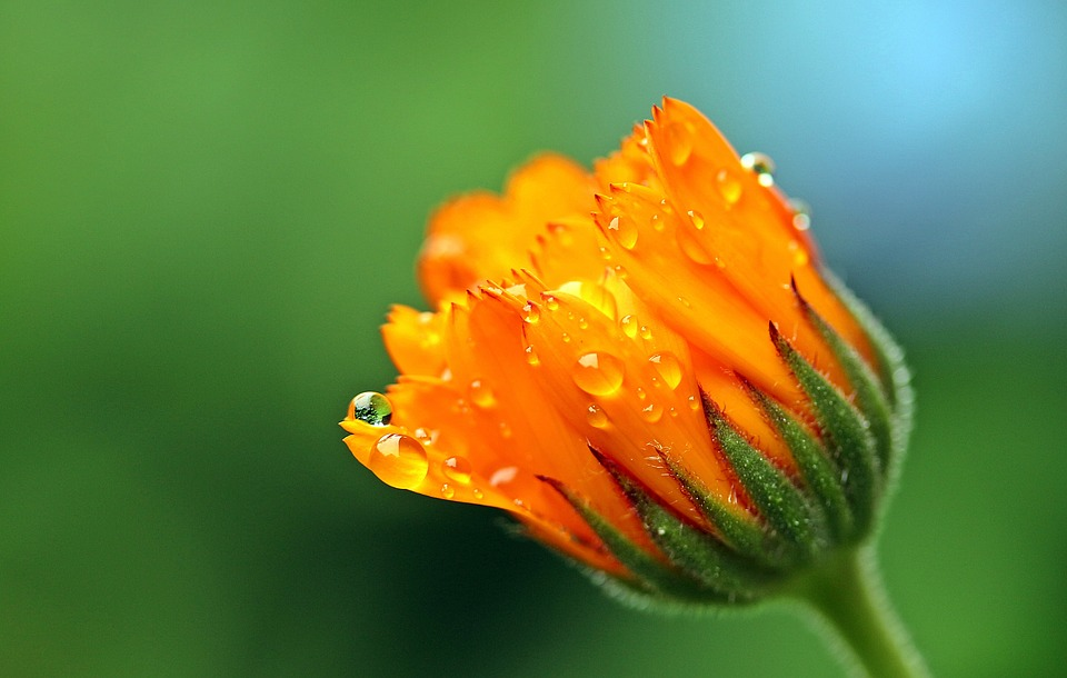 who sells calendula