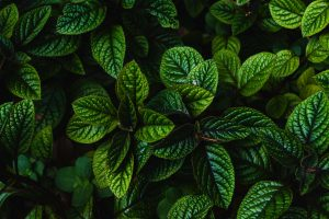 What Is Peppermint Oil Used For Let Me Count the Ways…