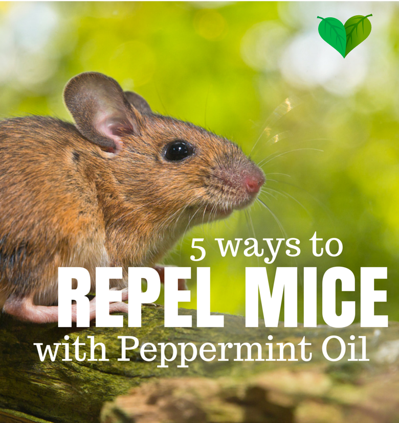 Does Peppermint Oil Repel Mice? Yes! 5 Ways to Get Rid of Mice |