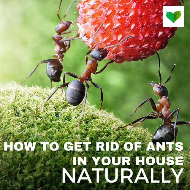 How To Get Rid Of Ants In The House Naturally: 10 Easy Ways